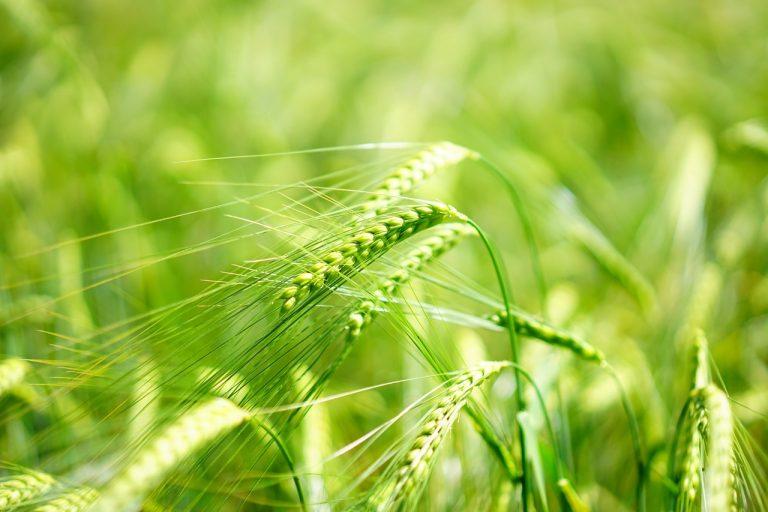 zielony jeczmień działanie